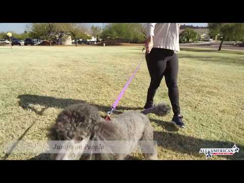 poodle-2-years-old-barks,-jumps.-pulls-on-leash-off-leash-before-&-after