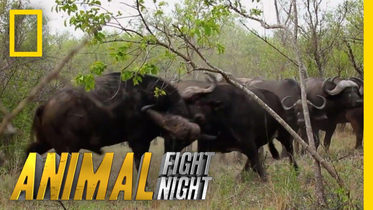 Elephant vs. Rhino | Animal Fight Night - YouTube