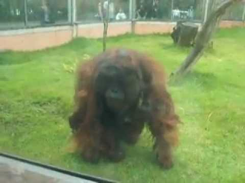 Orangotango no Zoológico de São Paulo (Orangutan in São Paulo Zoo- Brazil)