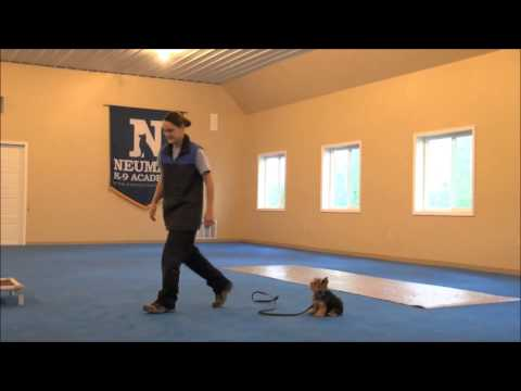 Roxy (Yorkshire Terrier) Dog Training Video Minneapolis