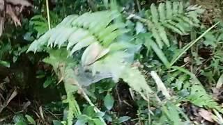 シダ植物 ワラビ ヤブソテツ