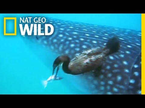 Watch a Diving Bird Pluck a Suckerfish Off a Shark   Nat Geo Wild