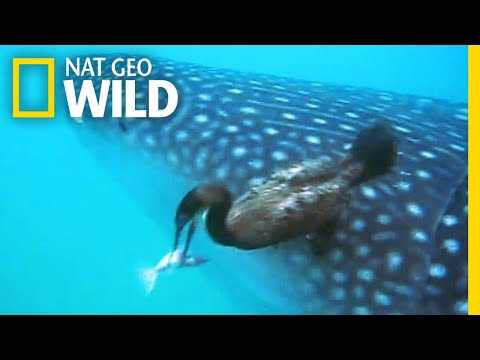 Watch A Diving Bird Pluck A Suckerfish Off A Shark | Nat Geo Wild