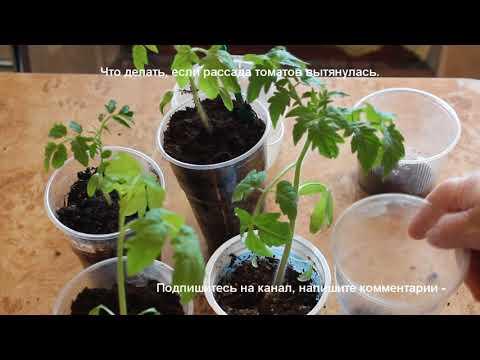 Рассада в домашних условиях. Как исправить вытянутую рассаду томатов.   выращивание   вытянулась   томатов   рассады   рассада   полив   уход   в_2018   т   г