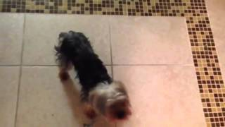 Yorkshire Terrier Doing Some Dog Training In Miami: Smart Start Puppies