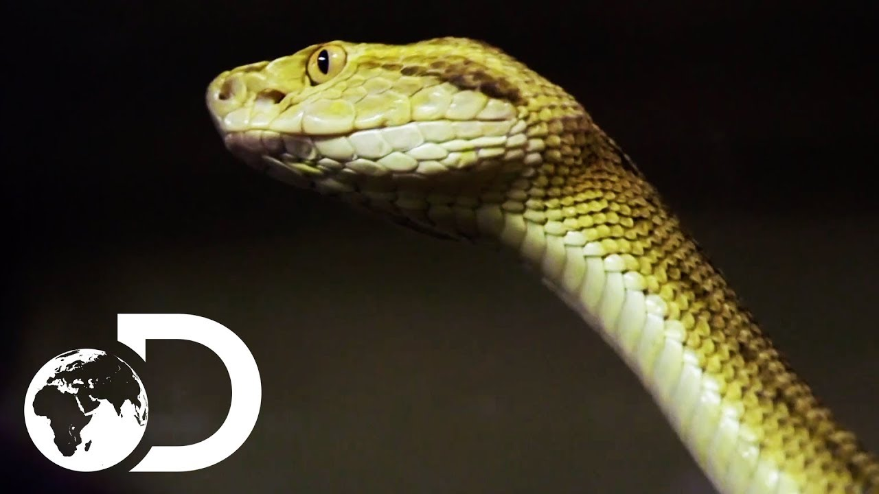 Getting Up Close And Personal With Brazil's Golden Lancehead Snake    Treasure Quest: Snake Island