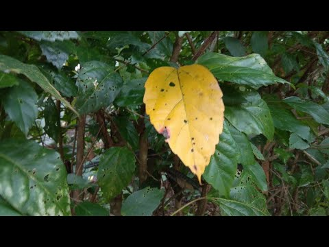 Hibiscus Plant Leaves Turning Yellow And Falling Off Youtube