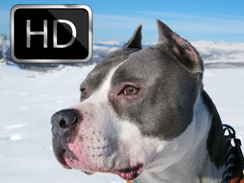 ➤Amerikan Staffordshire Terrier Hakkında Bilgiler  ➤Parkur Köpeği ➤Parkour Dog