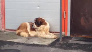 Пёс Бетховен