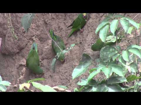 Manu National Park-tui parakeets and cobalt winged parakeets  manu river