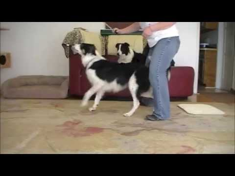 Turn and Back up through your legs: 'How to' Dog Trick for Canine Freestyle