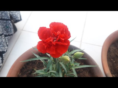 How to Grow and Care Carnation Flowering Plant // कारनेशन की देखभाल