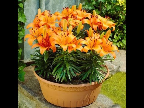 How To Grow A Lily In A Pot Youtube