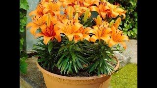 How to grow a lily in a pot