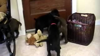 English Labrador Retriever Puppies--chocolate And Black
