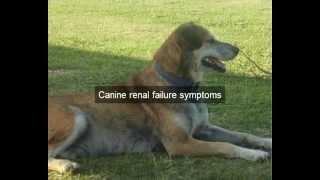 Identify Canine Renal Failure Symptoms   Help Ease Canine Renal Failure Symptoms   Better Dog Health