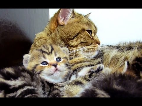 Mom Cat talking to her meowing  Cute Kitten
