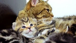 Mom Cat talking to her Cute meowing Kitten