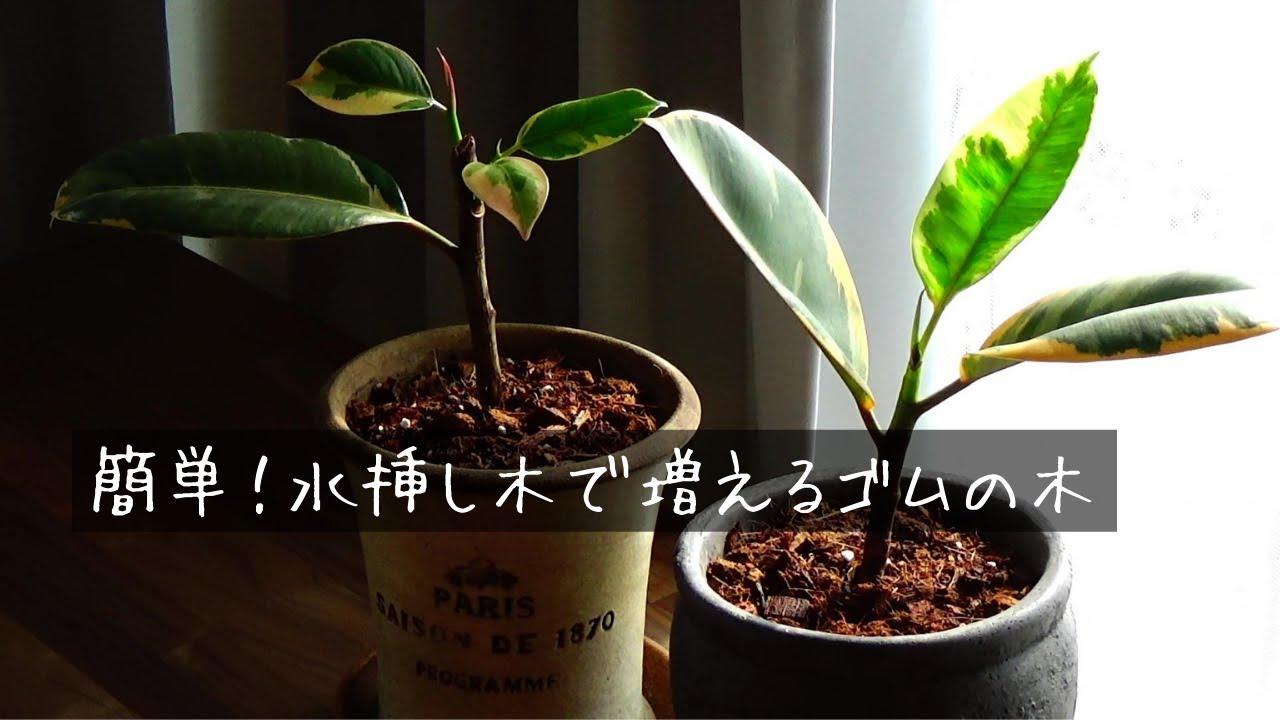 ゴム の 木