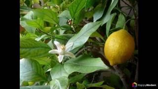 Комнатный лимон - сорта, уход в домашних условиях(http://happymodern.ru/limon-v-domashnix-usloviyax/ Присоединяйтесь к нам: https://www.flickr.com/photos/happymo... https://twitter.com/HappyModern_Ru ..., 2016-06-06T13:44:04.000Z)