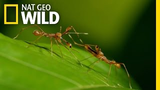 Weaver Ants are a formidable force in the rainforests of Sri Lanka....