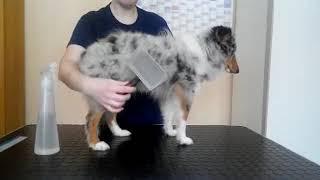 Расчесываем щенка шелти