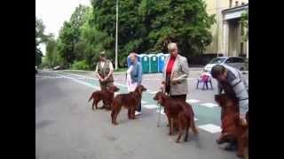 Московская выставка охотничьих собак 2014. Ирландские сеттеры. Чемпионы
