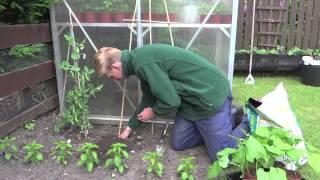 Planting Runner Beans | Jack Shilley
