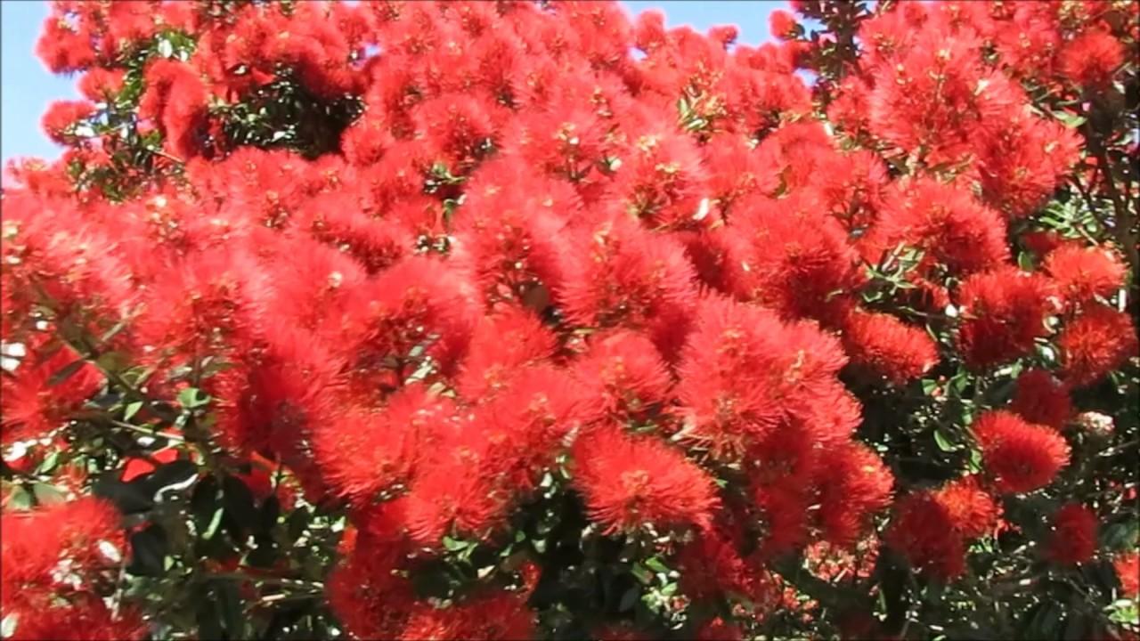Pohutukawa Tree New Zealand S Iconic Christmas Tree Youtube