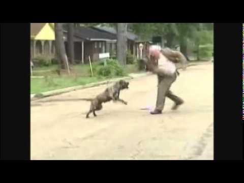 Pastor pilão enfrenta pitbull ... sai da...