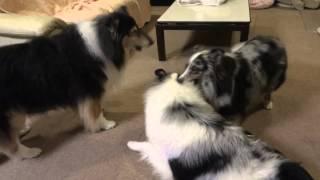 雨続きで体力の有り余った若犬2頭。