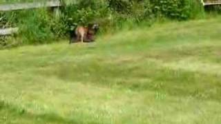 Border Terrier Puppies Running On The Lawn