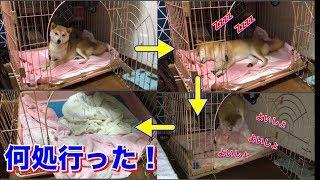 ベッドをくちゃくちゃにして寝た柴犬ハナが脱走? -- Shiba is sleeping in shiba's bed.--