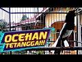 Kacer Tarung Kacer Gacor Full Isian Kacer Emosi Choe Than  Mp3 - Mp4 Download