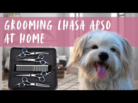 Grooming My Lhasa Apso At Home With A Grooming Scissor Set