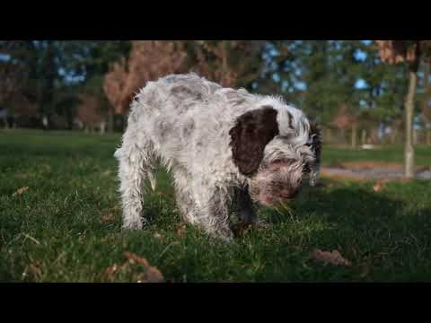 8 week old Lagotto Pups playing in the grass