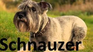 10 Least Smelly Dog Breeds