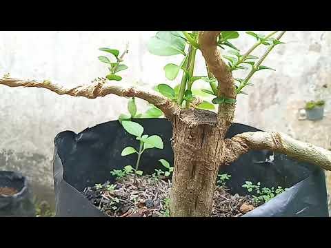 Tips Memilih Calon Cabang Bonsai Sancang (premna Microphylla Bonsai)