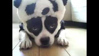 A cute dog wearing a panda costume. フレンチブルドックとポメラニア...