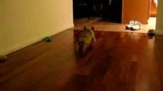 """Bugg Puppy Runs """" Stitch """" Boston Terrier & Pug"""