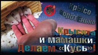 Фото Крысята. 🐭 Как крысы человека доедали 🤗 Две мамки и их беляши. 😉 Бонусное видео. 🐭fancy Rats🐭