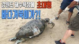 거대 바다거북이가 해수욕장에 나타났습니다 그런데 Sea…