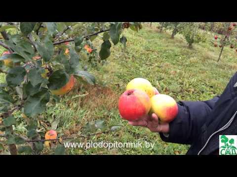 Яблоня сорт Пепинка золотистая