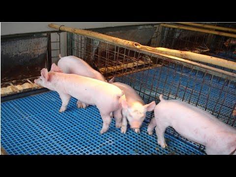 Curso Produção de Suíno Light - Mais Carne, Menos Gordura - Alimentação - Cursos CPT