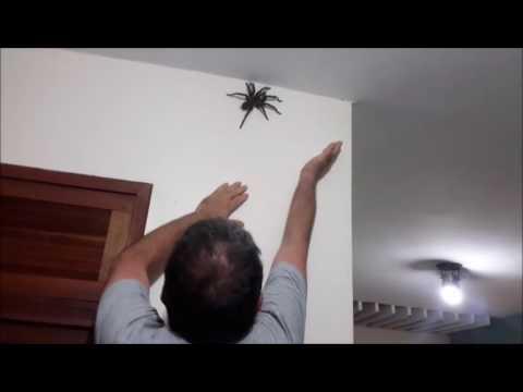 Grosse araign e dans la maison youtube for Aoutats dans la maison