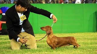 Top Dachshund's Of All Time   Show Champions