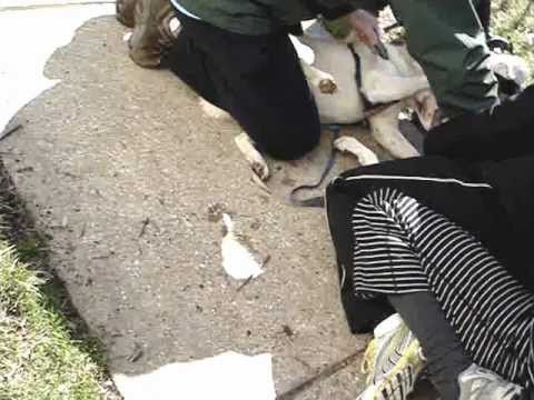 Pit Bull Mauls A Samoyed Chow Mix Wmv Youtube