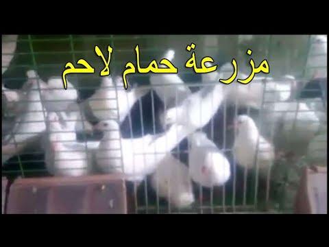 مزرعة لتربية الحمام اللاحم الفرنساوي في مصر Youtube