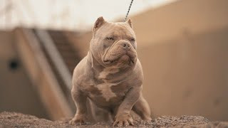 CHUNKY x HARD BULLY KENNELS