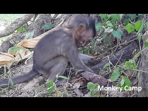 Thumbnail: Baby monkey life in Angkor, Real life of baby monkey, Monkey Camp part 533
